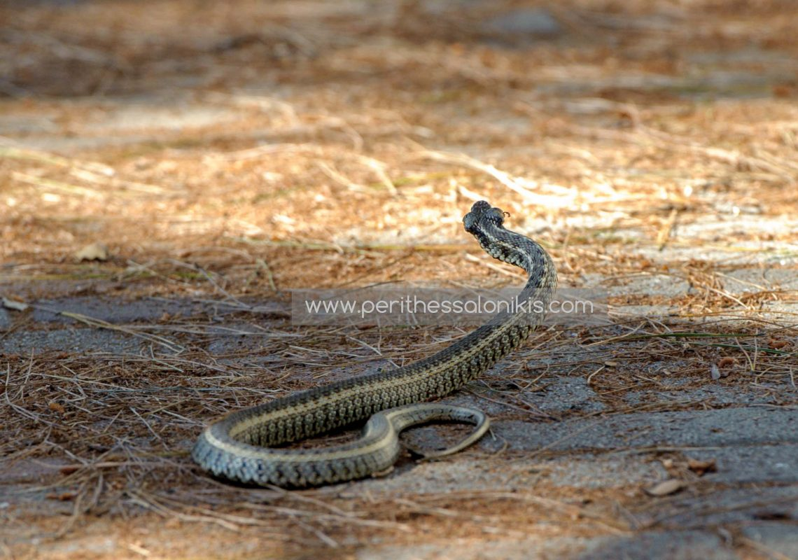 A snake escaping after a fight against a cat, Fragma Thermis, Thessaloniki / Greece. © Aris Papadopoulos