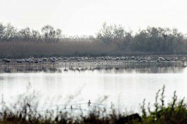 Ein auffälliges Merkmal des Sozialverhaltens der Flamingos ist, dass sie in großen Kolonien leben. Im Axios Delta National Park leben über 1500 Individuen. Einige von ihnen sehen wir hier in der Lagune von Kalochori.  Die Lagune von Kalochori, Thessaloniki / Griechenland, 31.03.2016. © Aris Papadopoulos