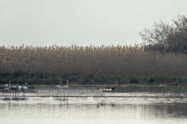 Ein anderes Merkmal der Flamingos ist, dass sie bei jedem Flugstart, wie auch bei ihrer Landung, mehrere Meter laufen. Sie erwecken den Eindruck, dass sie über das Wasser laufen können.  Die Lagune von Kalochori, Thessaloniki / Griechenland, 31.03.2016. © Aris Papadopoulos