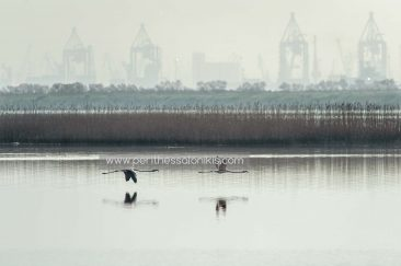 Two flamingos in the air. In the background one can barely see the cranes of the port of Thessaloniki because of the hazy weather in the morning. Flamingos (Phoenicopteridae) in Kalochori, Thessaloniki / Greece, 31.03.2016. © Aris Papadopoulos