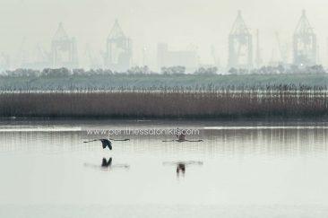 Zwei Flamingos im Flug. Im Hintergrund kann man wegen des diesigen Wetters am Morgen nur schwach die Kräne des Hafens von Thessaloniki erkennen.  Die Lagune von Kalochori, Thessaloniki / Griechenland, 31.03.2016. © Aris Papadopoulos