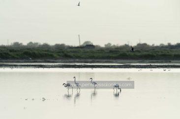 Vier Flamingos, die sich von ihrer Gruppe entfernt haben, machen sich auf Nahrungssuche. Die Lagune von Kalochori, Thessaloniki / Griechenland, 14.04.2016. © Aris Papadopoulos