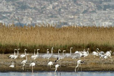 Flamingos and in the background the city of Thessaloniki.  Flamingos (Phoenicopteridae) in Kalochori, Thessaloniki / Greece, 14.04.2016. © Aris Papadopoulos