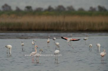"Greater Flamingo (Phoenicopterus roseus), like all other flamingo species, get the pink color of the plumage from the dyes ""carotenoids"", which they receive through their food (algae, crabs, shrimp). Flamingos (Phoenicopteridae) in Kalochori, Thessaloniki / Greece, 14.04.2016. © Aris Papadopoulos"