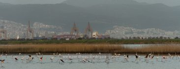 Shortly after the sunset the flamingos fly from the eastern part of the lagoon to the western part, where they will stay overnight. In the background the evening light illuminates the harbor and the city of Thessaloniki.  Flamingos (Phoenicopteridae) in Kalochori, Thessaloniki / Greece, 14.04.2016. © Aris Papadopoulos