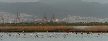 Kurz nach dem Sonnenuntergang fliegen die Flamingos vom östlichen Teil der Lagune zum westlichen, wo sie übernachten. Im Hintergrund breitet sich das Abendlicht über der Stadt und dem Hafen von Thessaloniki aus. Die Lagune von Kalochori, Thessaloniki / Griechenland, 14.04.2016. © Aris Papadopoulos
