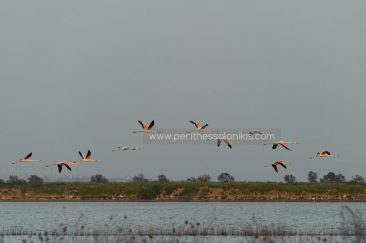 Flamingos in the air just before they land on their resting area.  Flamingos (Phoenicopteridae) in Kalochori, Thessaloniki / Greece, 14.04.2016. © Aris Papadopoulos