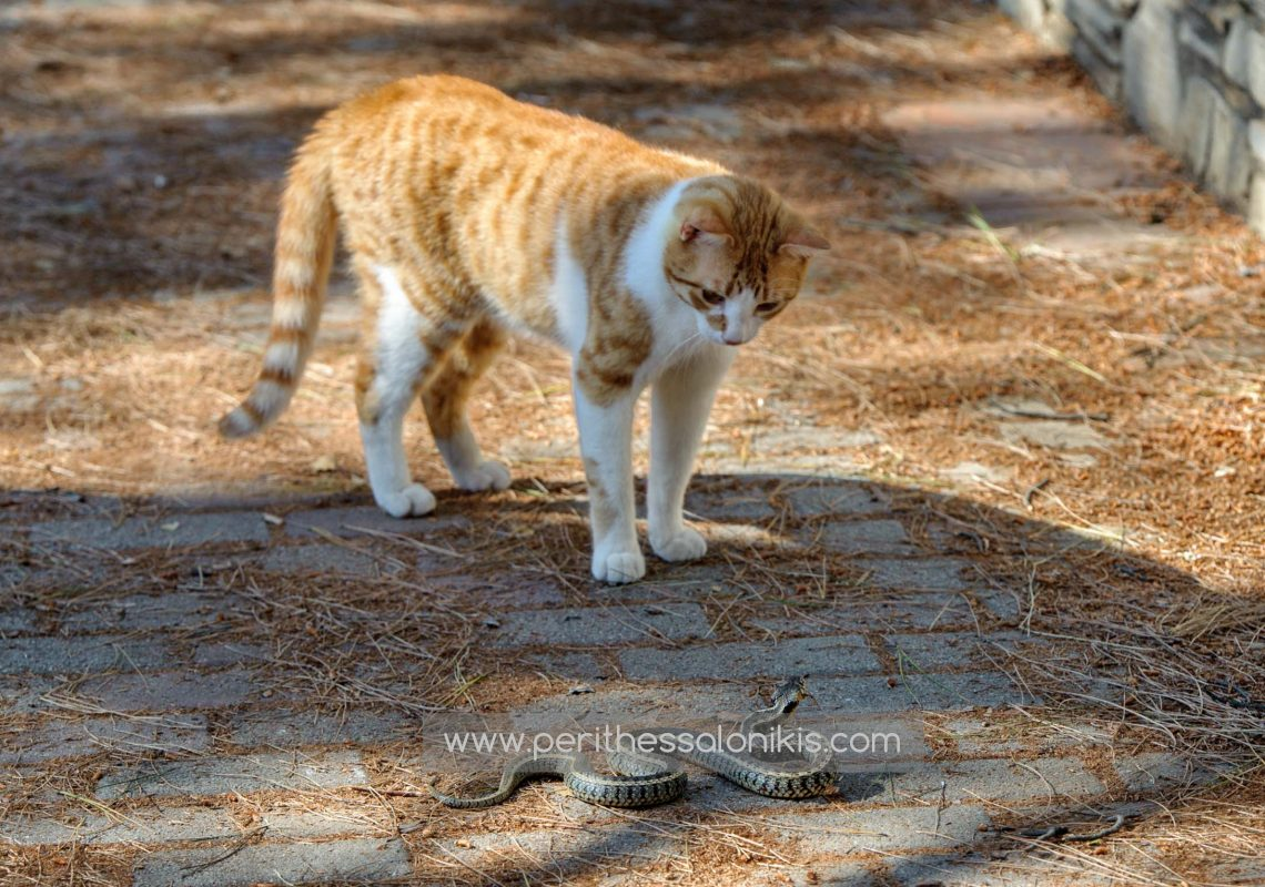 Of course it was an accidental encounter for all three in Fragma Thermis, Thessaloniki / Greece. I was the third. The cat and the snake have already met. © Aris Papadopoulos