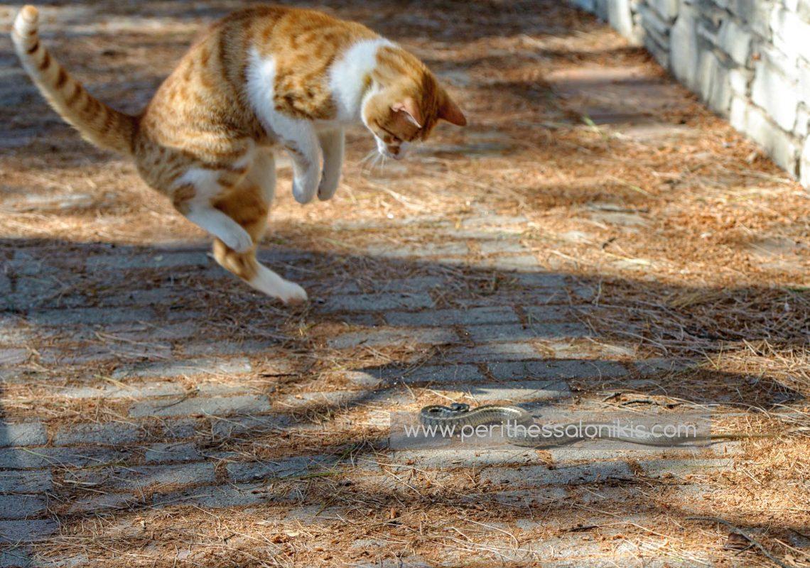 Natürlich war es eine zufällige Begegnung für alle drei im Fragma Thermis, Thessaloniki / Griechenland. Ich war der Dritte. Die Katze und die Schlange hatten sich schon kennengelernt. © Aris Papadopoulos