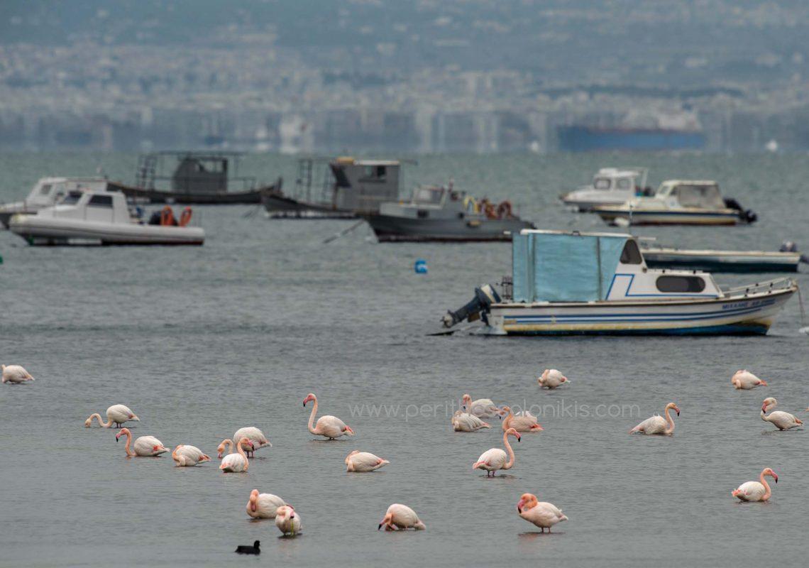 Flamingos im Thermaischen Golf