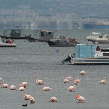 Flamingos in the Thermaic Gulf