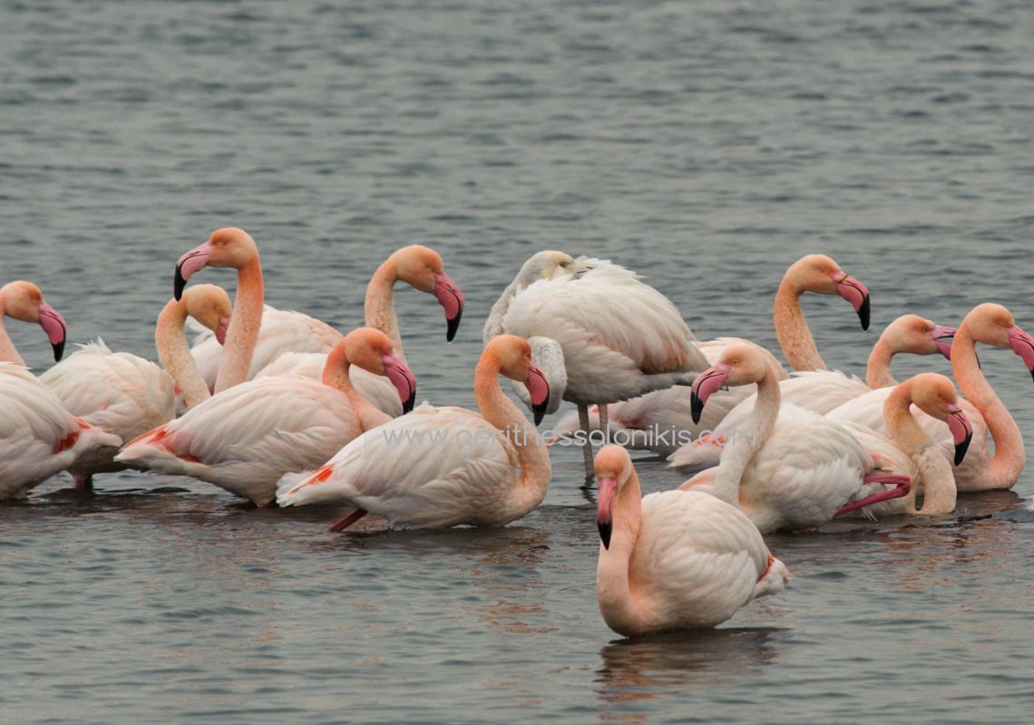 The great temperature drop and the freezing of the lagoon of Kalochori forced the flamingos, like other bird species, to look for their food in the Thermaic Gulf, Thessaloniki, Greece. © Aris Papadopoulos