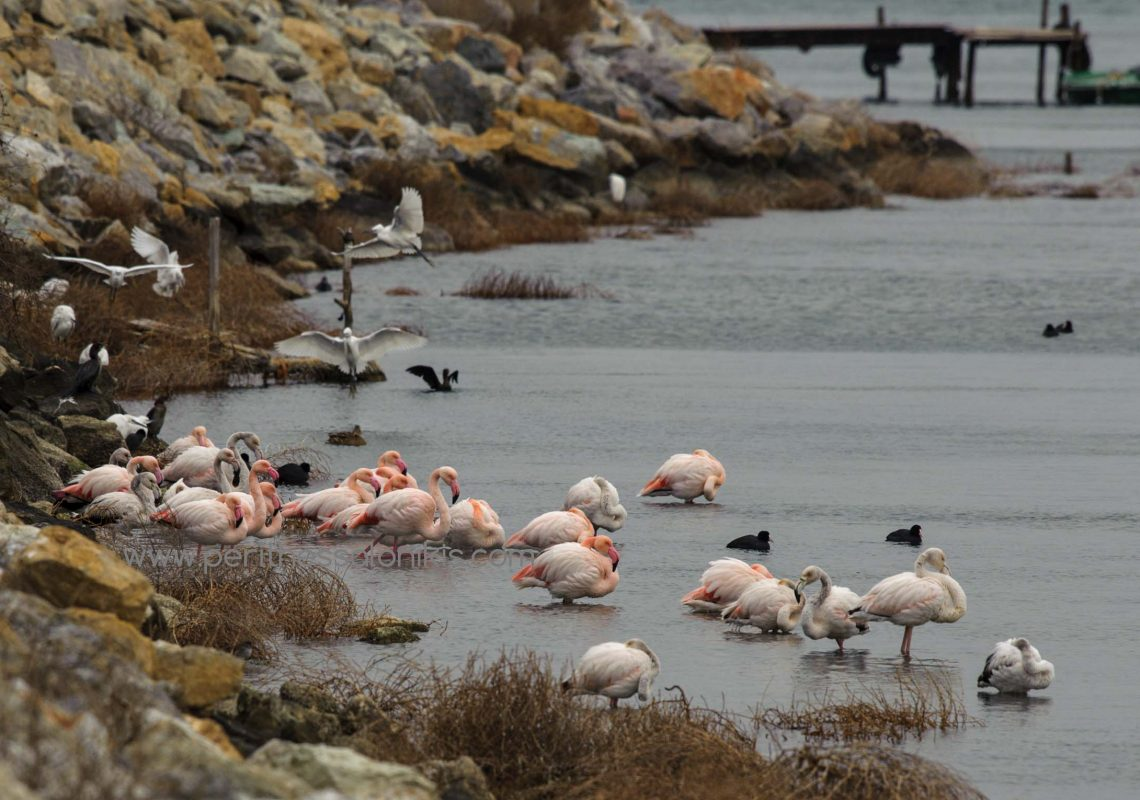 Behind the dike, birds (flamingos, Little egrets, Great cormorants, Eurasian coots, Ducks) in the Thermaic Gulf look for shelter from the cold north wind.  The dike protects the lagoon of Kalochori / Thessaloniki from the sea. © Aris Papadopoulos