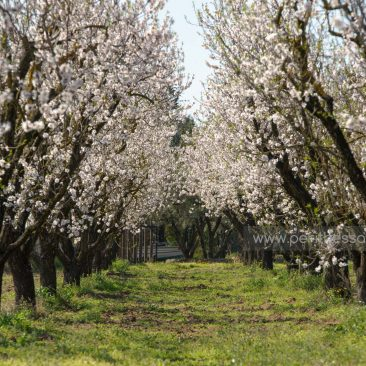 Country estate with blooming almond trees in Epanomi