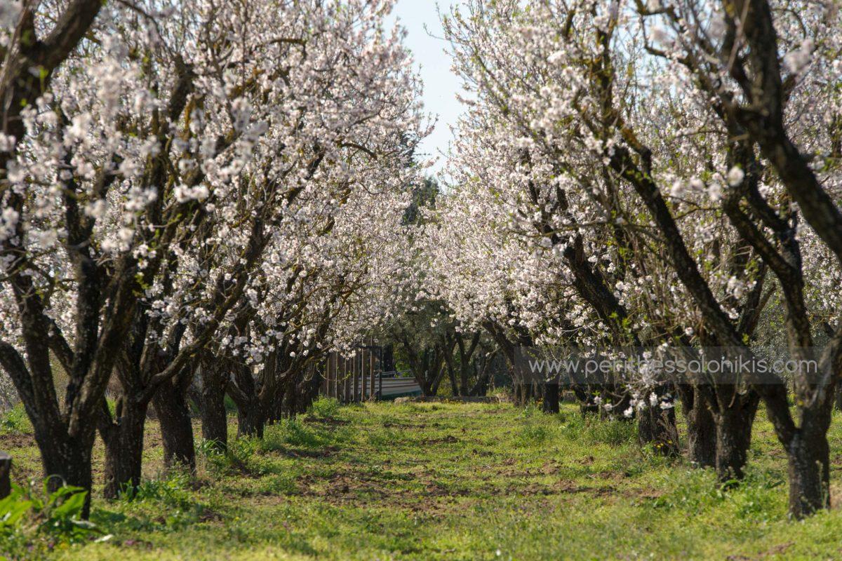 Landgut mit blühenden Mandelbäumen in Epanomi