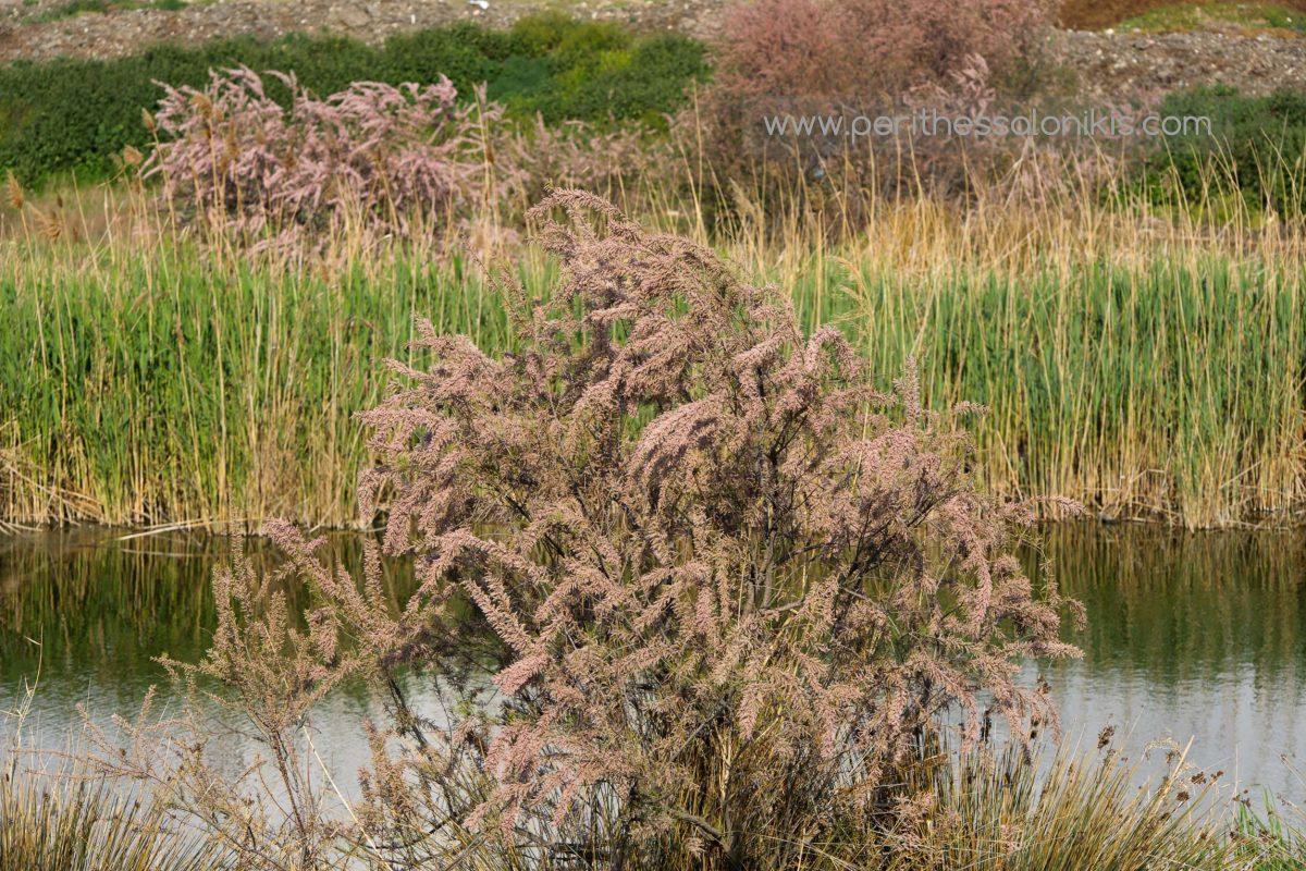 Frühling am Ufer des Gallikos Flusses