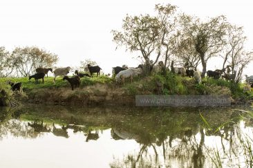 A herd of goats on the banks of the Gallikos. © Aris Papadopoulos
