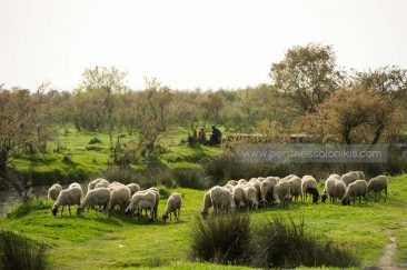 A flock of sheep grazes on the banks of the Gallikos. In the background two shepherd. © Aris Papadopoulos