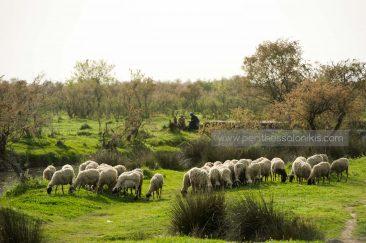 Eine Schafherde grast am Ufer des Gallikos. Im Hintergrund zwei Hirte. © Aris Papadopoulos