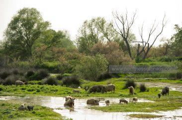 Γουρούνες με τα μικρά τους βόσκουν στις όχθες του Γαλλικού και δροσίζονται στα νερά του. © Aris Papadopoulos