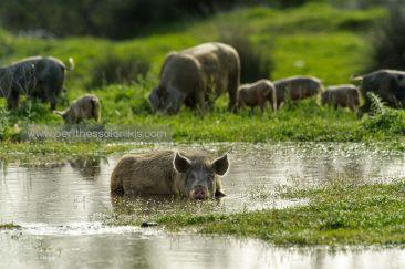 Ένα γουρούνι απολαμβάνει την δροσιά του νερού. © Aris Papadopoulos