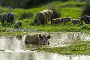 A pig enjoys the cool water. © Aris Papadopoulos