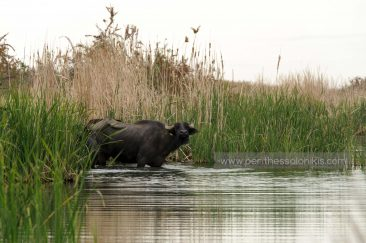 Der erste Wasserbüffel bereitet sich vor, um den Fluss zu überqueren. © Aris Papadopoulos