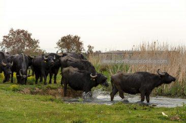 Wasserbüffel gehen in den Gallikos Fluss. © Aris Papadopoulos