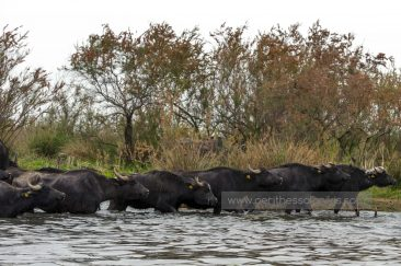 The flock of water buffaloes crosses the Gallikos. © Aris Papadopoulos