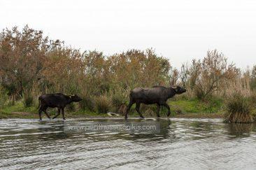 Ein weiblicher Büffel ist mit ihrem Kleinen am anderen Ufer angekommen. © Aris Papadopoulos