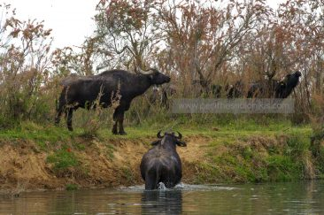 Die Wasserbüfelherde hat den Gallikos Fluss überquert. © Aris Papadopoulos