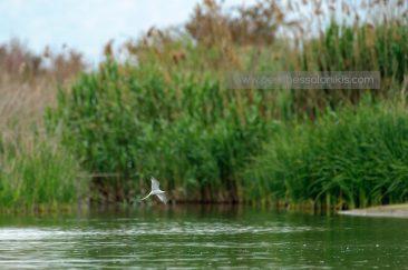 Fluss-Seeschwalbe (Sterna hirundo) im Flug. © Aris Papadopoulos