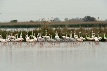 Natürlich können auch die Flamingos (Phoenicopterus roseus) im Delta nicht fehlen. © Aris Papadopoulos