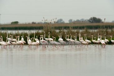 Of course also the Flamingos (Phoenicopterus roseus) can be found in the Delta. © Aris Papadopoulos