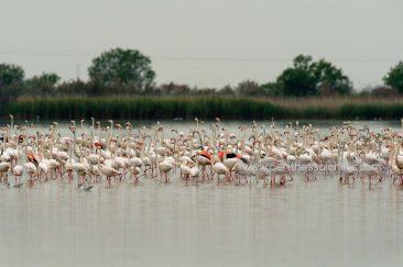 Hunderte von Flamingos (Phoenicopterus roseus) haben sich im Delta gesammelt. © Aris Papadopoulos