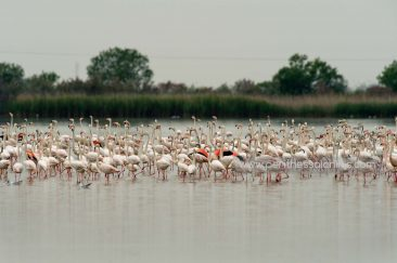 Hundreds of flamingos (Phoenicopterus roseus) gathered in the Delta River.  © Aris Papadopoulos