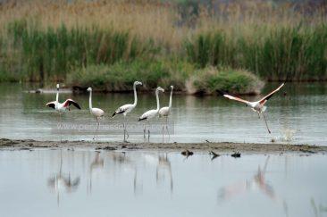 Fünf Flamingos (Phoenicopterus roseus) stehen im Wasser des Delta des Gallikos Flusses, während ein Flamingo sich abhebt. © Aris Papadopoulos