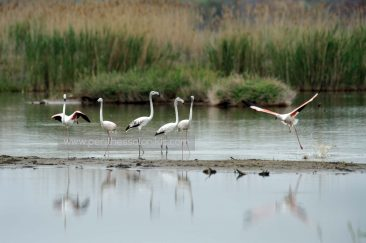 Five Flamingos (Phoenicopterus roseus) stand in the waters of the delta of Gallikos River, while one flamingo gets ready to fly. © Aris Papadopoulos