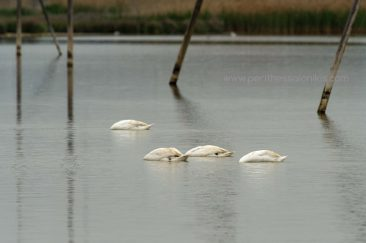Four mute swans (Cygnus olor) while they look for food in the waters of the Delta. © Aris Papadopoulos
