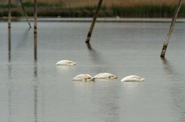 Vier Höckerschwäne (Cygnus olor) während sie Nahrung im Wasser des Delta suchen. © Aris Papadopoulos