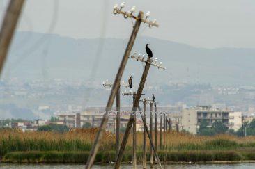 Kormorane (Phalacrocorax carbo) auf alten Strommasten, die jetzt im Wasser des Delta des Gallikos Flusses stehen. © Aris Papadopoulos